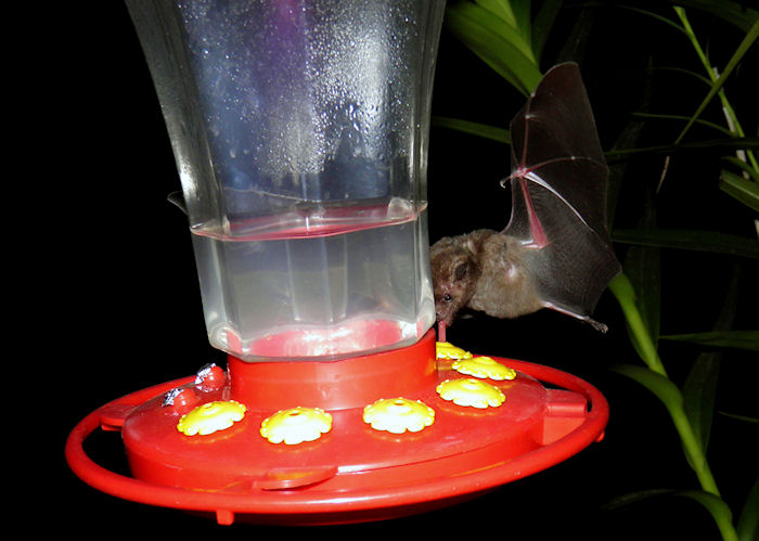 A bat caught in the act by Dr. Raul Erazo, MD of Colombia.  6/11/2012