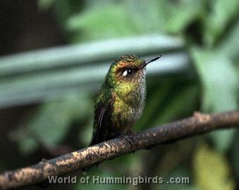 Hummingbird garden catalog: mountain avocetbill